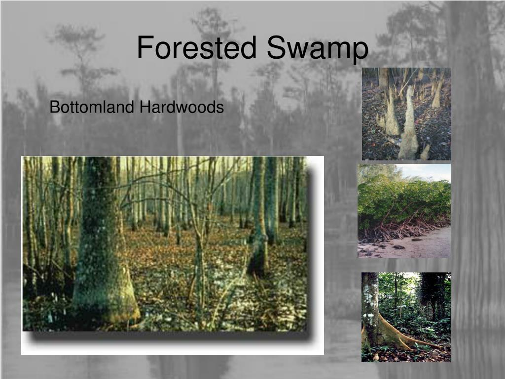 Forested Swamp