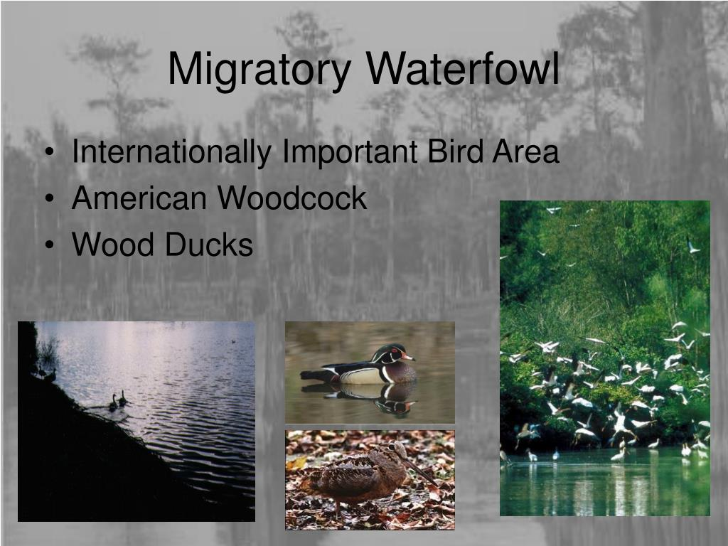 Migratory Waterfowl