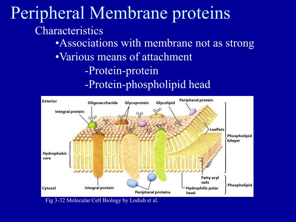 Peripheral Membrane proteins