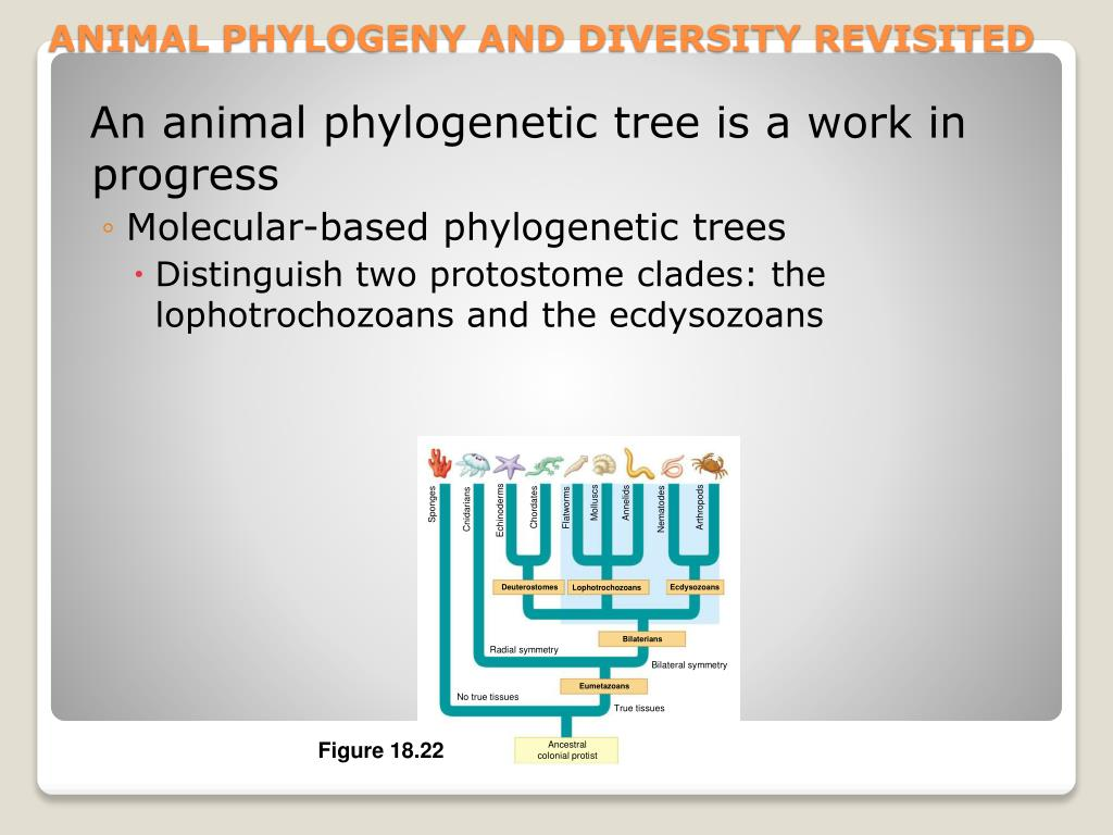 An animal phylogenetic tree is a work in progress