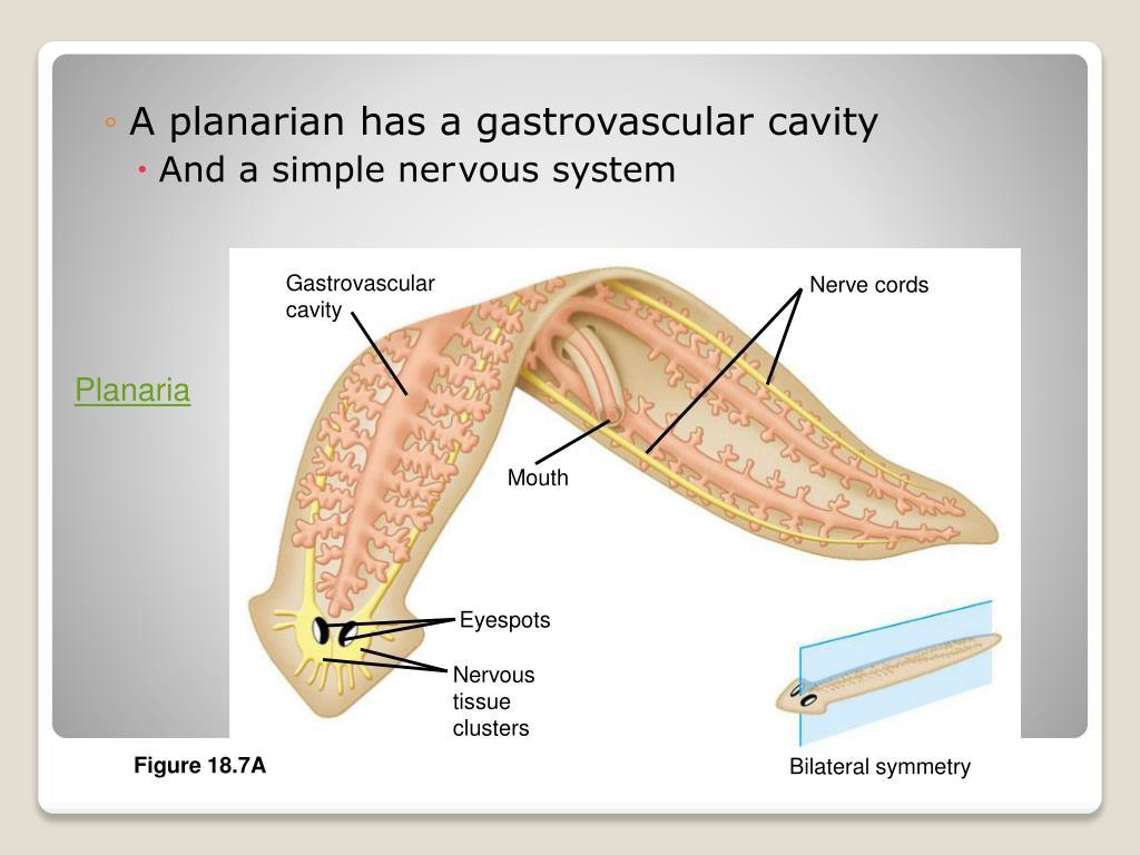 Gastrovascular
