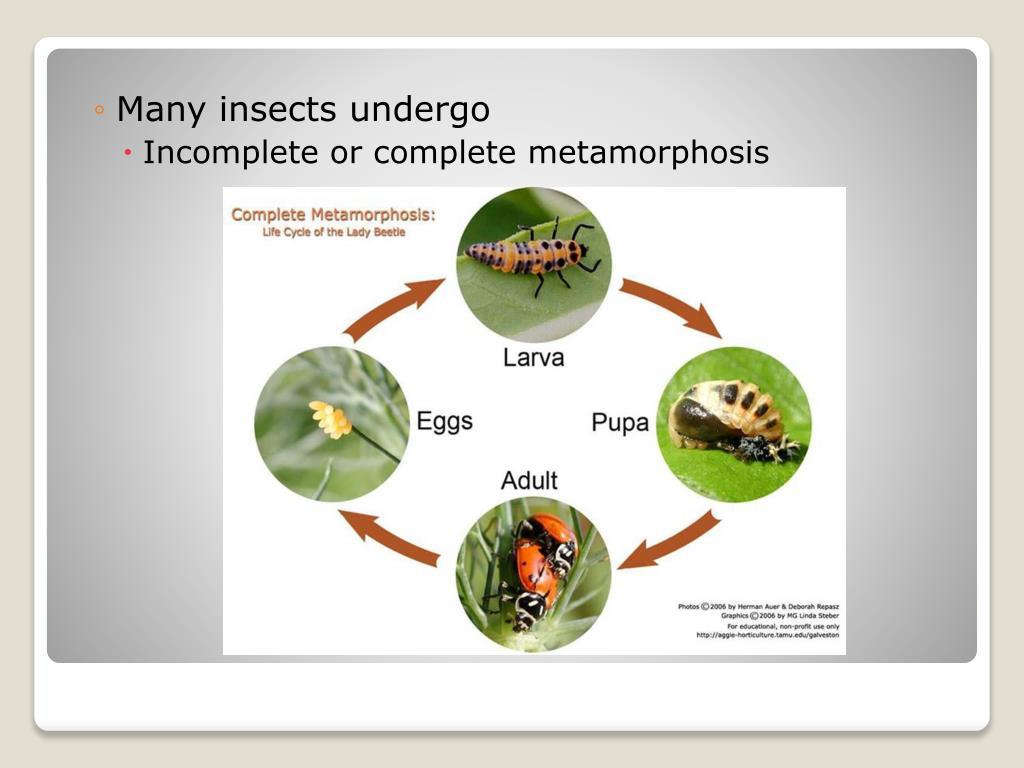 Many insects undergo