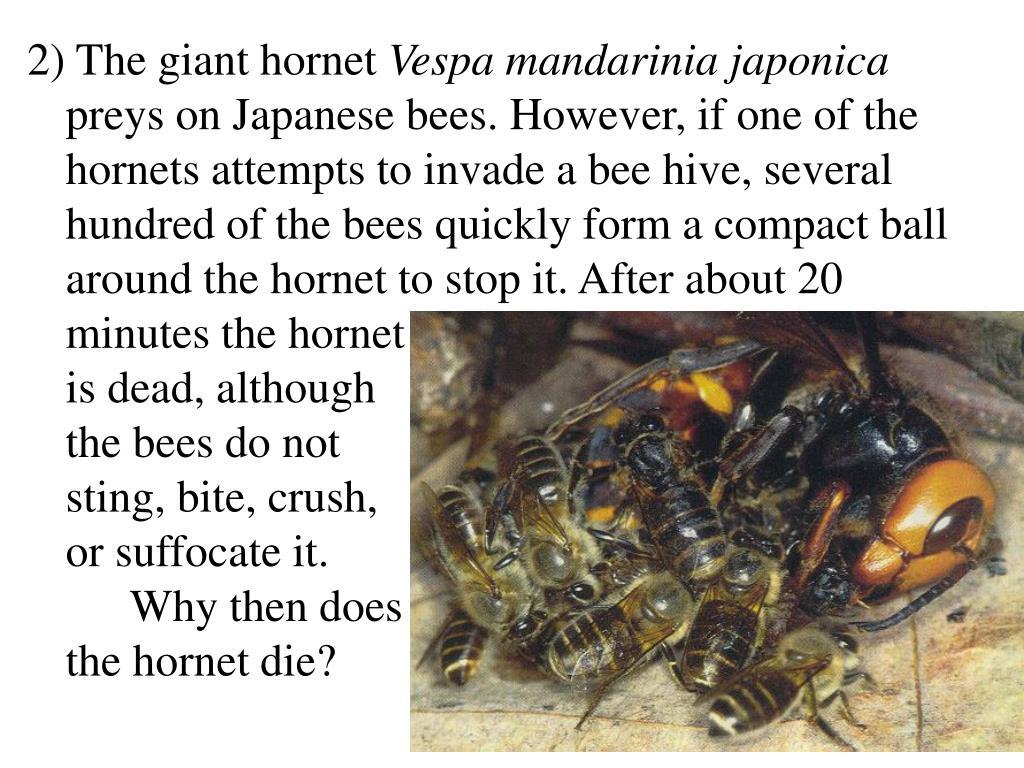 2) The giant hornet