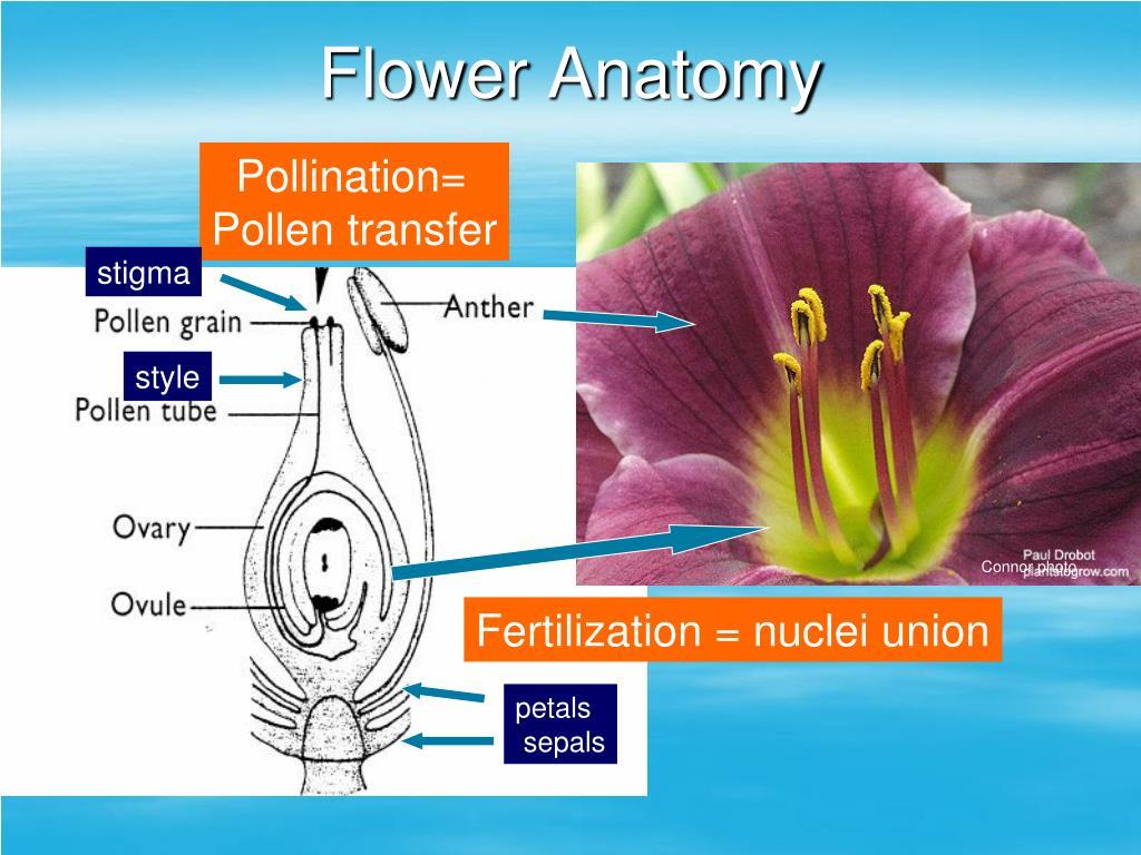 PPT Pollination PowerPoint Presentation ID