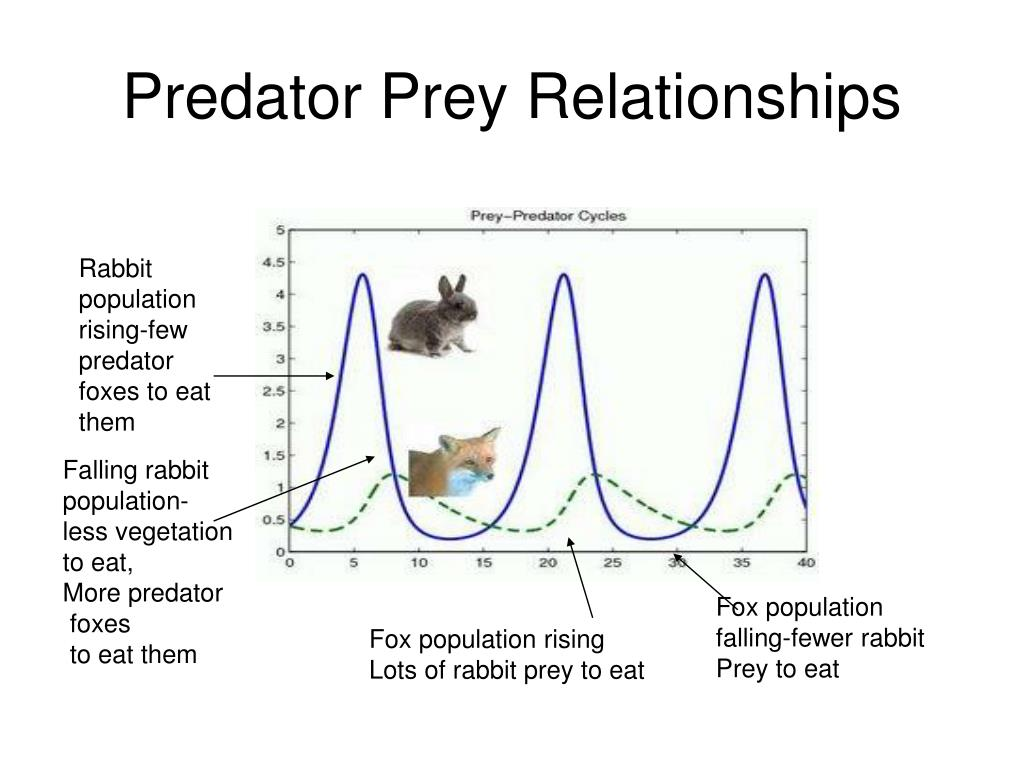 predator prey relationship fox and rabbit