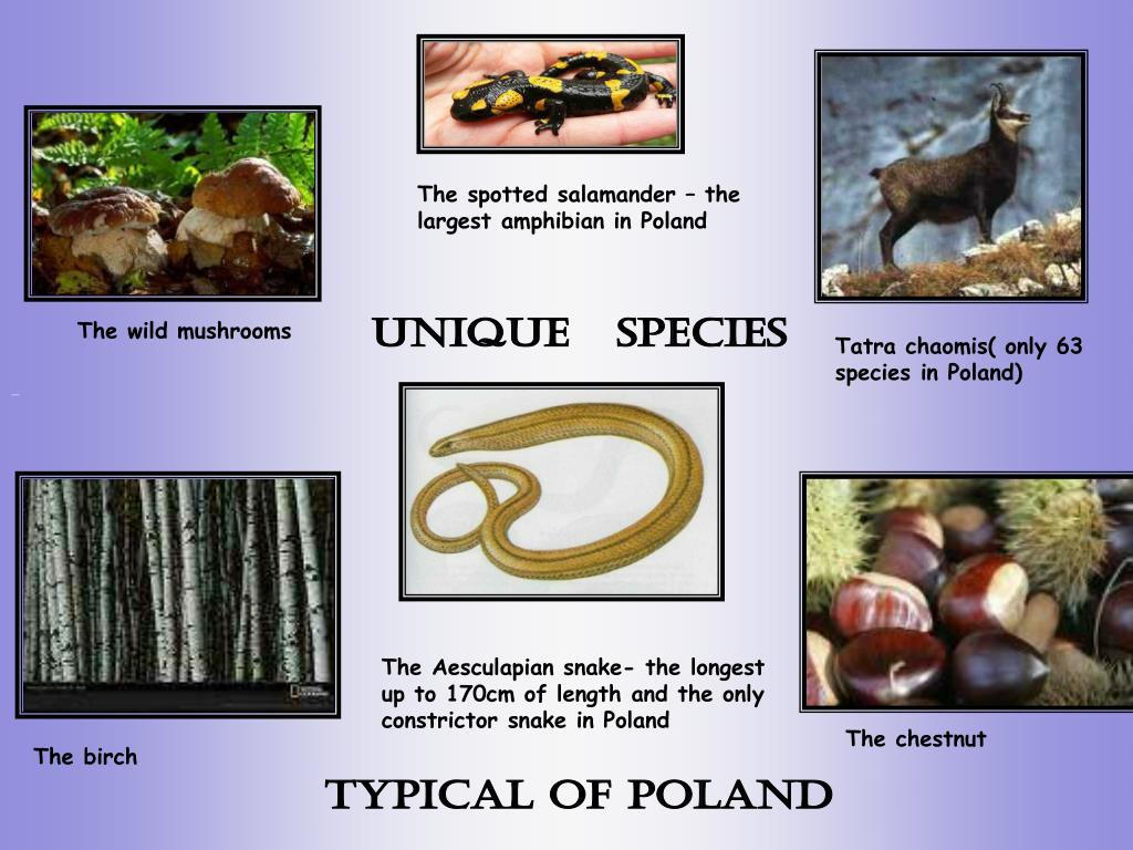 The spotted salamander – the largest amphibian in Poland