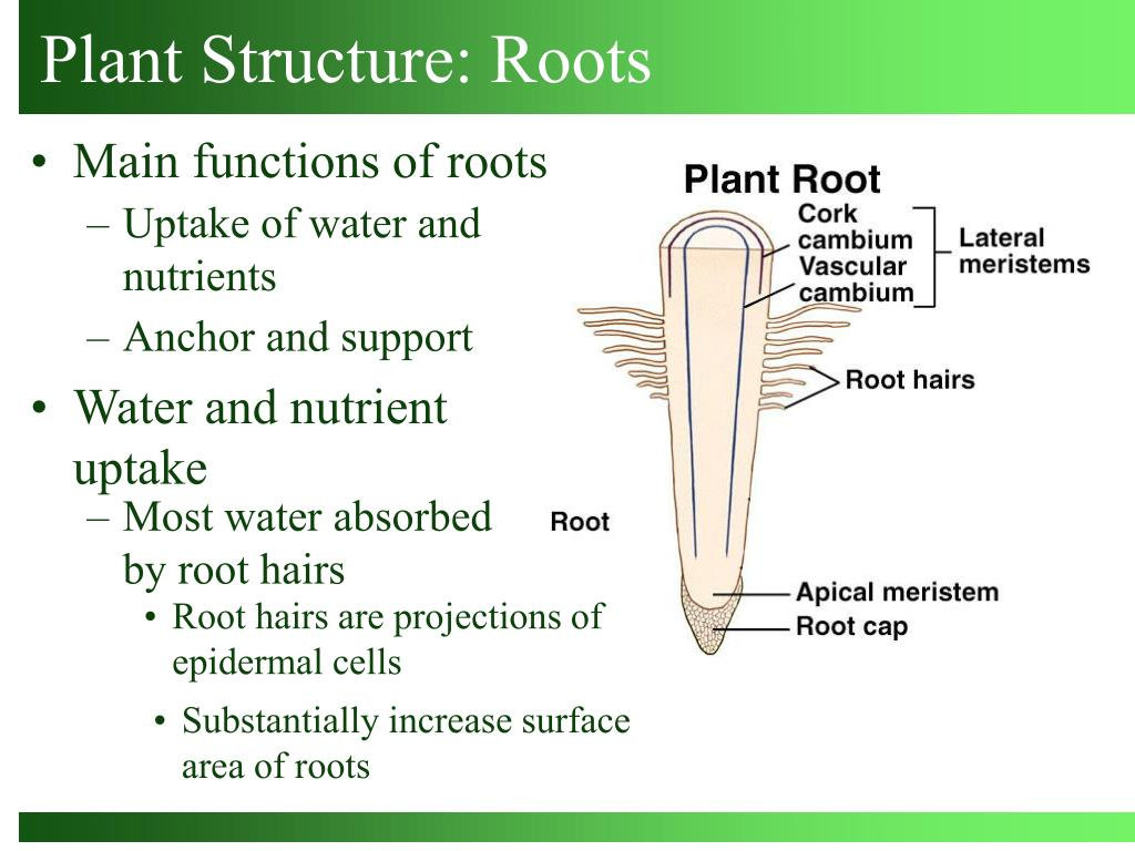 Most water absorbed by root hairs