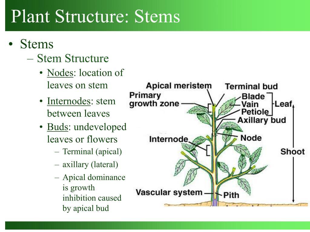Stem Structure