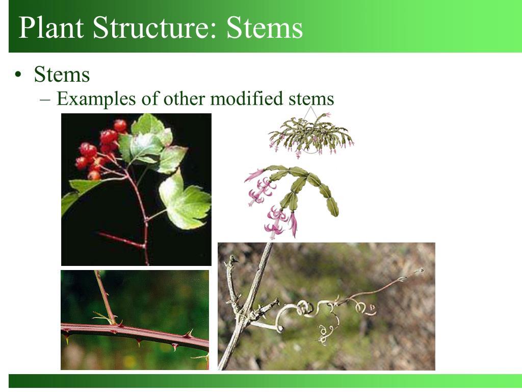 Plant Structure: Stems