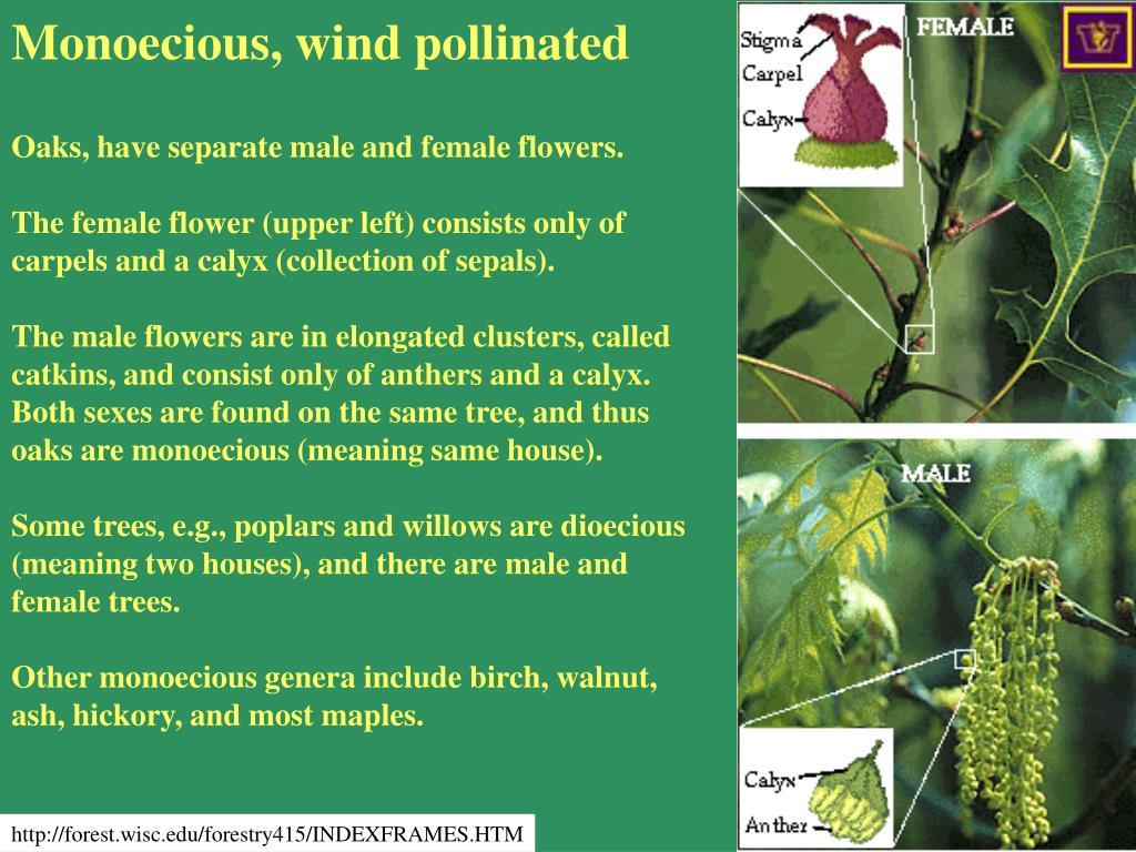 Monoecious, wind pollinated