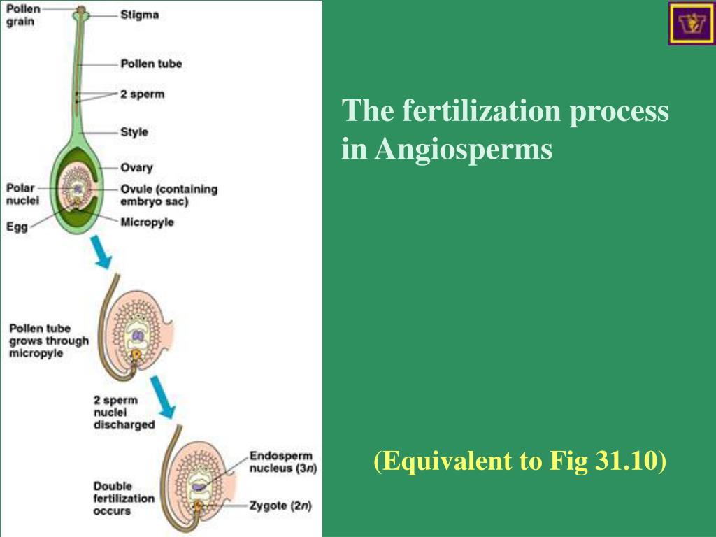 The fertilization process in Angiosperms