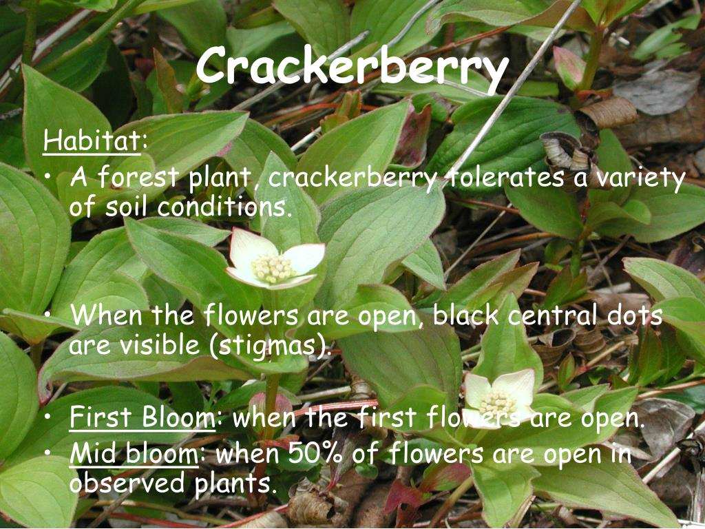 Crackerberry