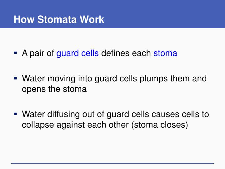 How Stomata Work