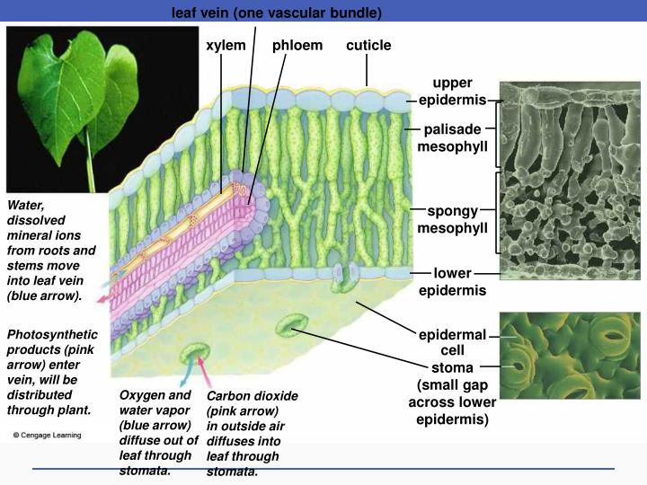 leaf vein (one vascular bundle)