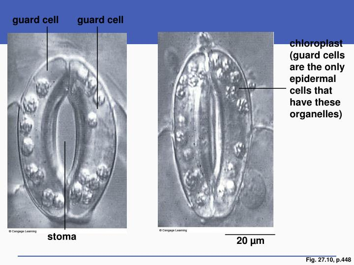 guard cell