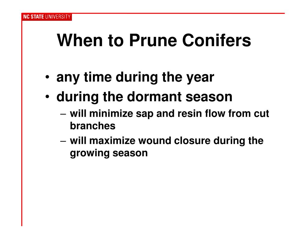 When to Prune Conifers