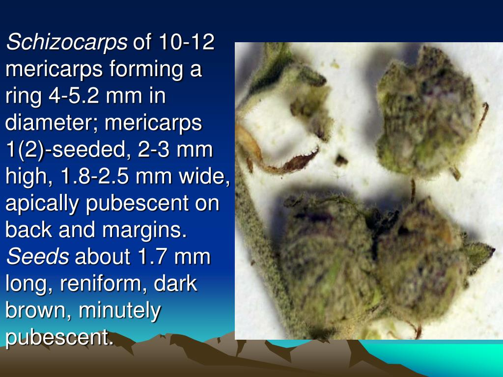 Schizocarps