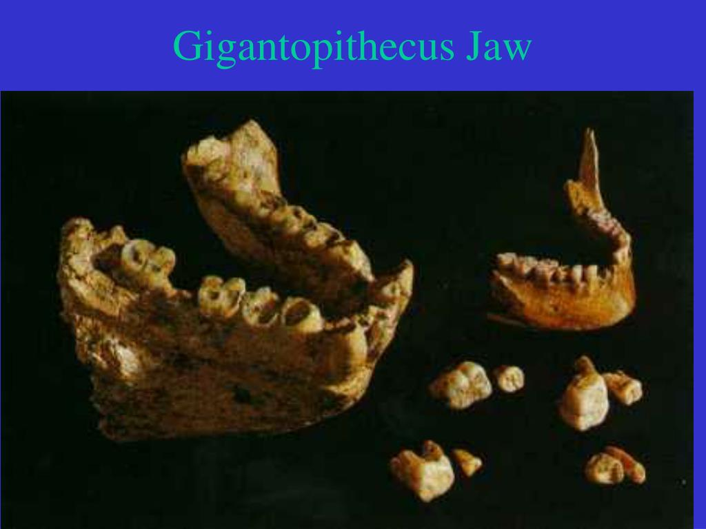 Gigantopithecus Jaw