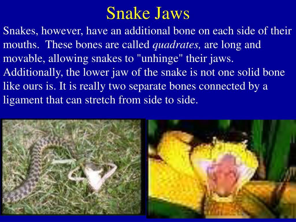 Snake Jaws