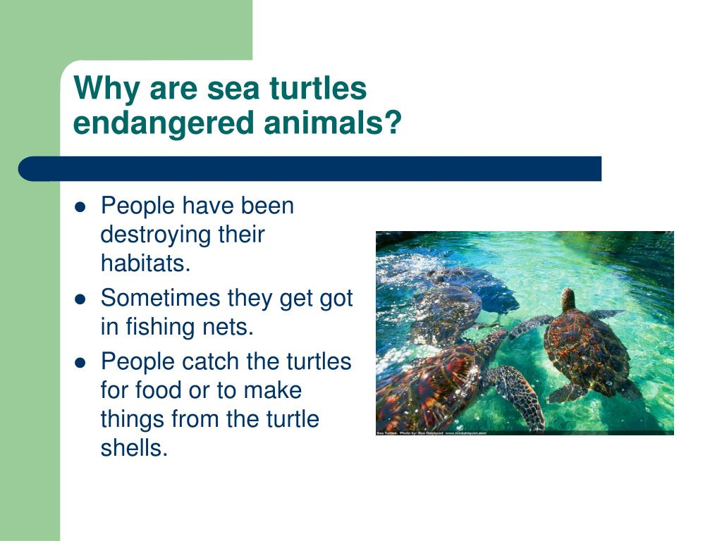Why are sea turtles
