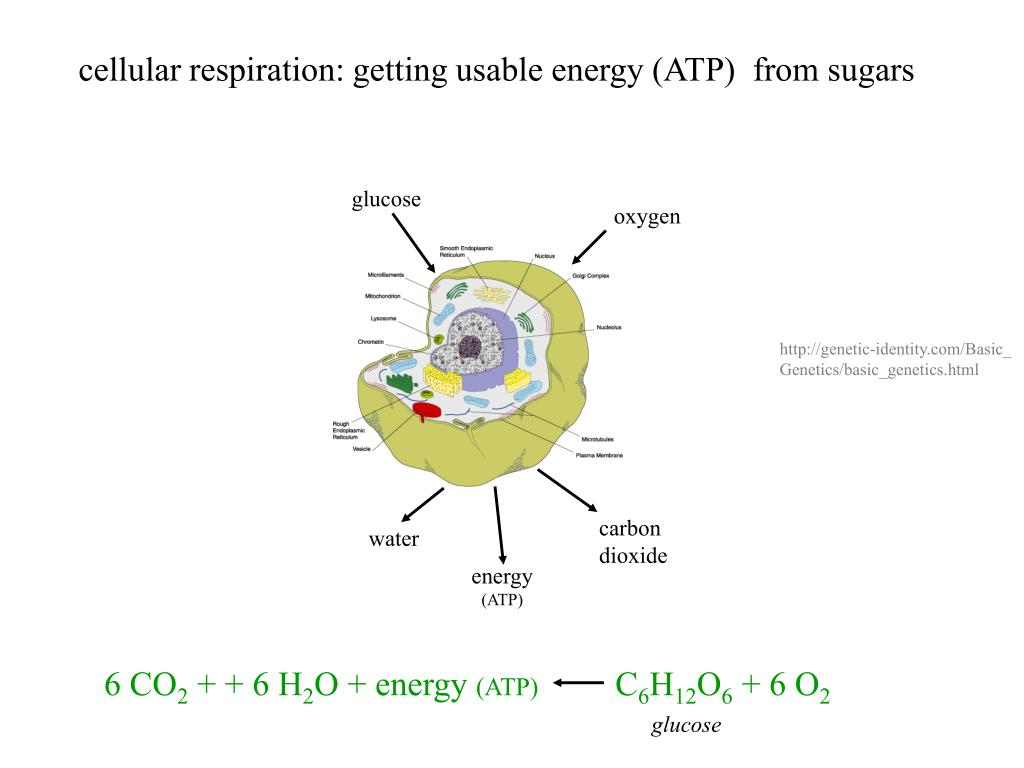 cellular respiration: getting usable energy (ATP)  from sugars