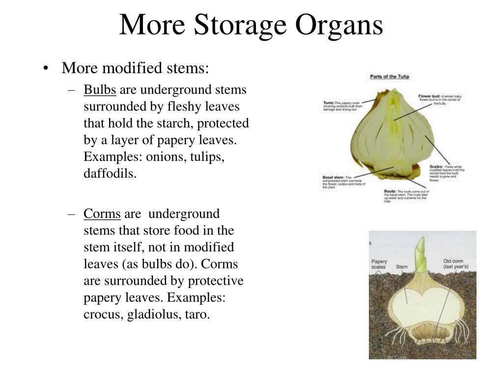 More Storage Organs