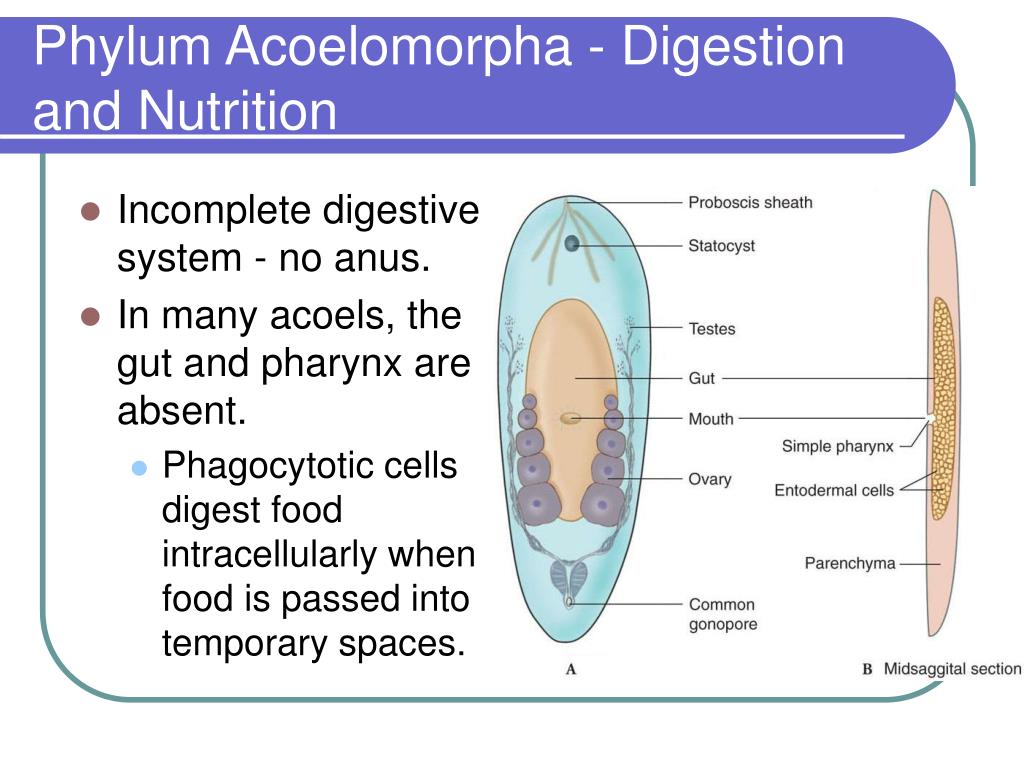 Phylum Acoelomorpha - Digestion and Nutrition