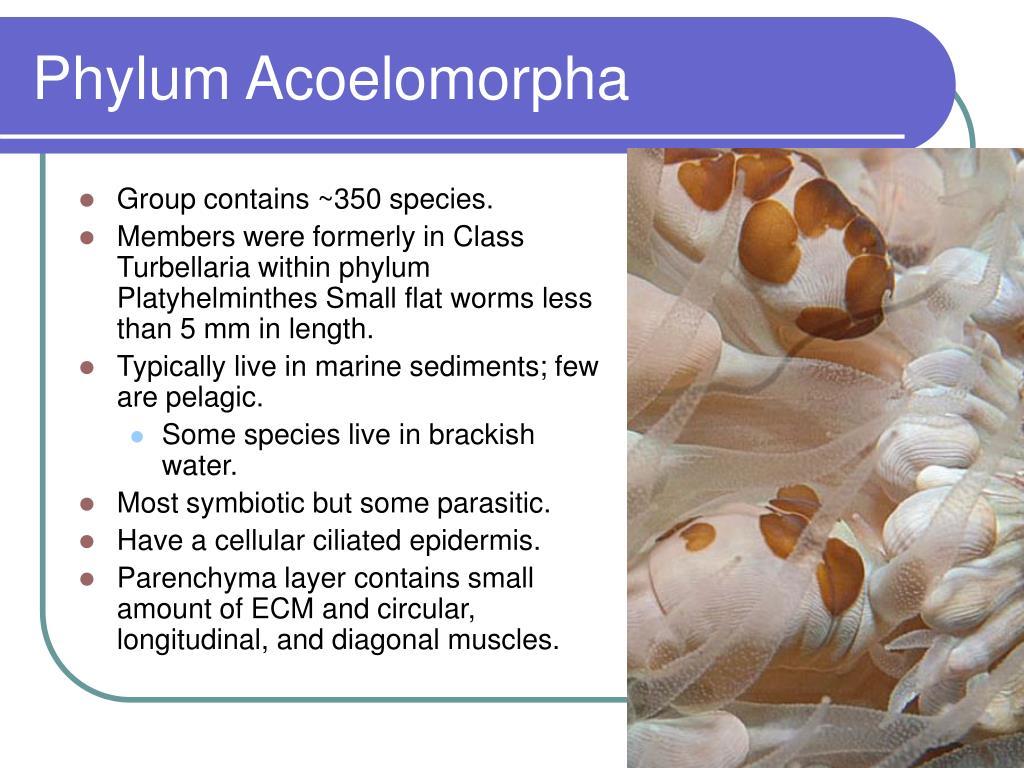 Phylum Acoelomorpha