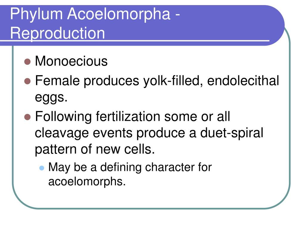 Phylum Acoelomorpha - Reproduction