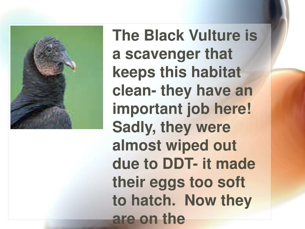 The Black Vulture is a scavenger that keeps this habitat clean- they have an important job here! Sadly, they were almost wiped out due to DDT- it made their eggs too soft to hatch.  Now they are on the Threatened List, so they are making a comeback.