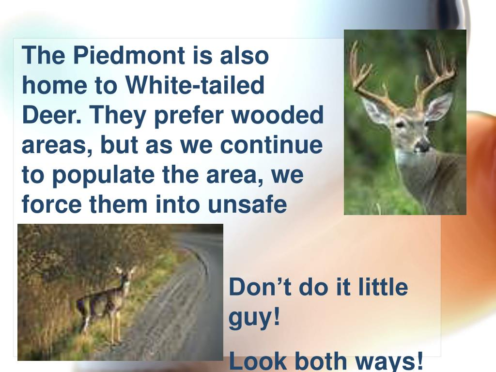 The Piedmont is also home to White-tailed Deer. They prefer wooded areas, but as we continue to populate the area, we force them into unsafe territory.