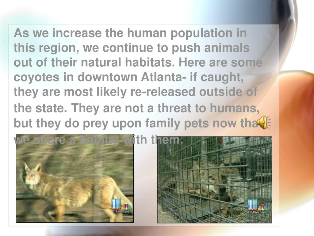 As we increase the human population in this region, we continue to push animals out of their natural habitats. Here are some coyotes in downtown Atlanta- if caught, they are most likely re-released outside of the state.