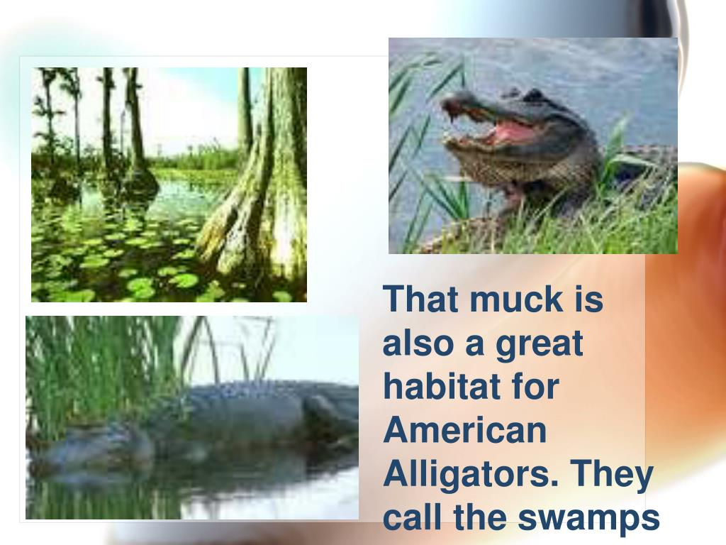 That muck is also a great habitat for American Alligators. They call the swamps home!