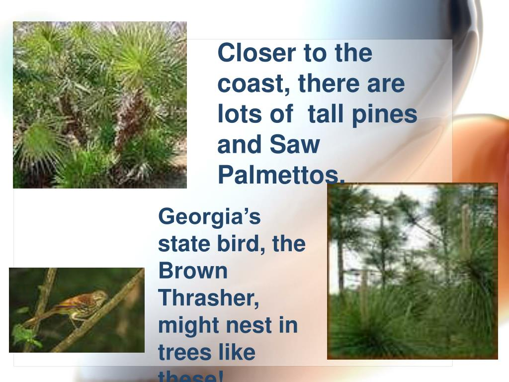 Closer to the coast, there are lots of  tall pines and Saw Palmettos.