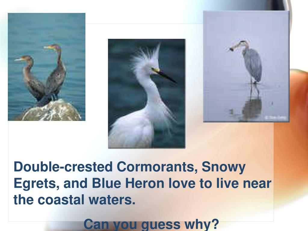Double-crested Cormorants, Snowy Egrets, and Blue Heron love to live near the coastal waters.