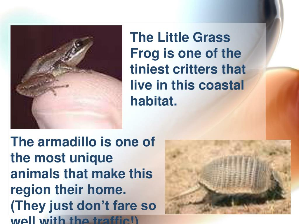 The Little Grass Frog is one of the tiniest critters that live in this coastal habitat.