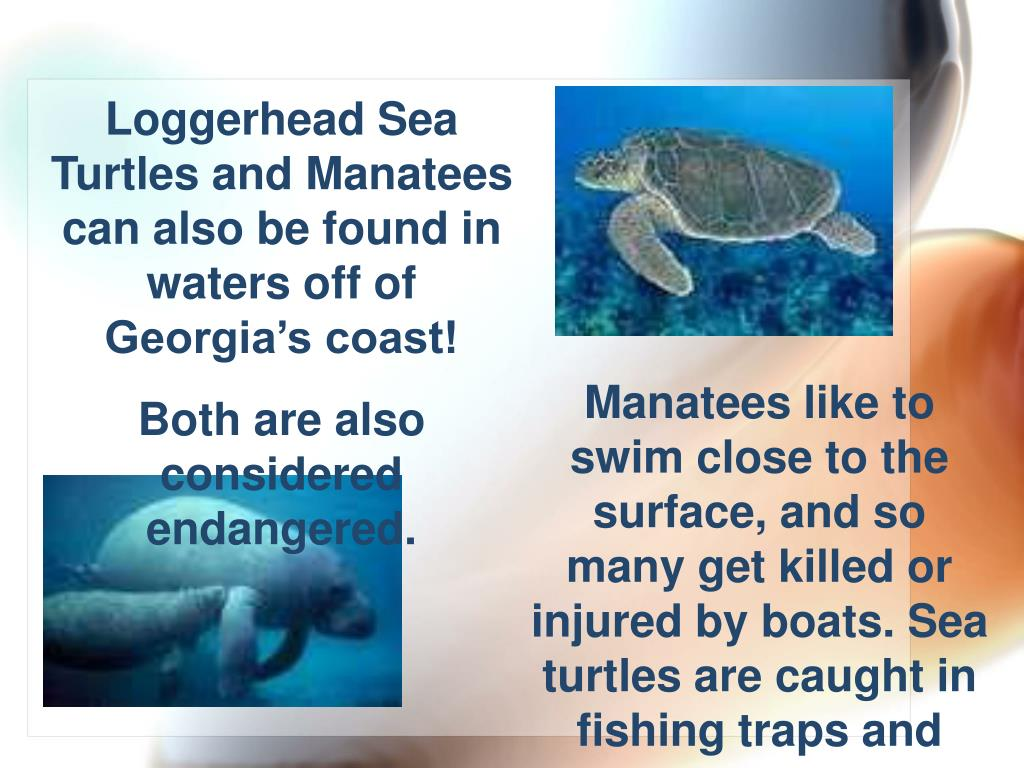Loggerhead Sea Turtles and Manatees can also be found in waters off of Georgia's coast!