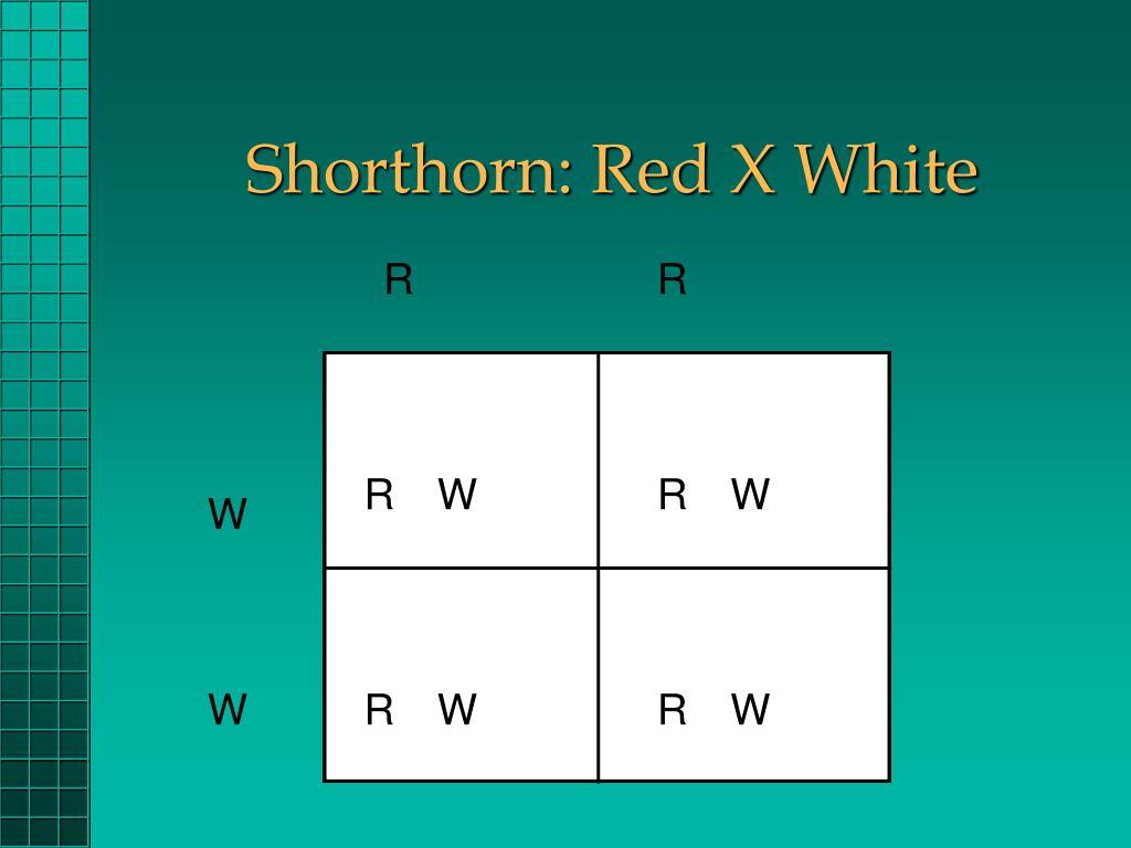 Shorthorn: Red X White