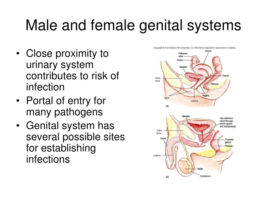 Female genitourinary anatomy