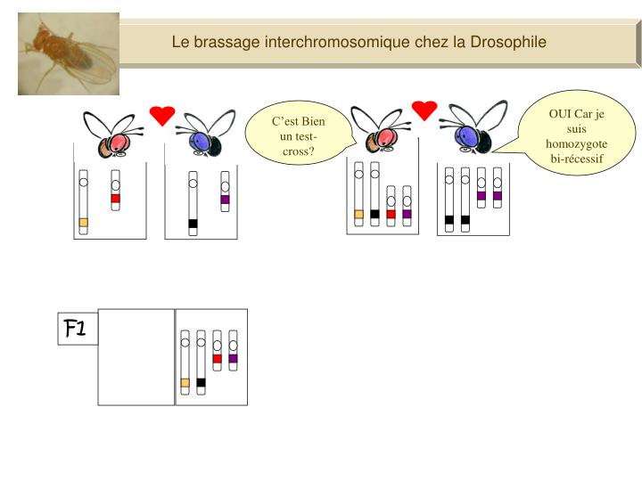 Le brassage interchromosomique chez la Drosophile