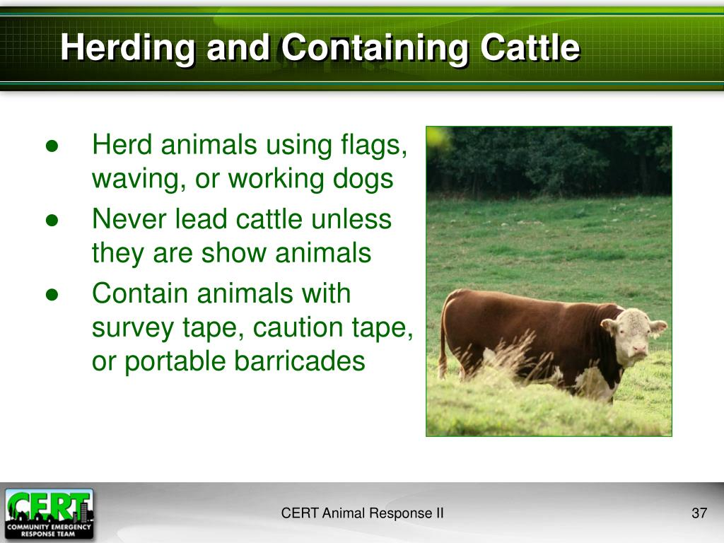 Herding and Containing Cattle
