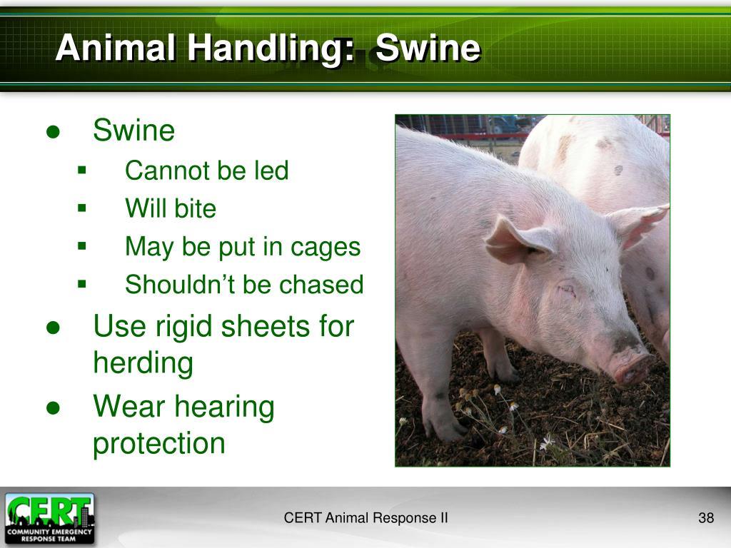 Animal Handling:  Swine