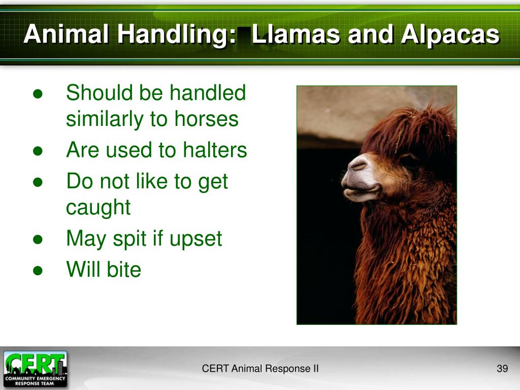 Animal Handling:  Llamas and Alpacas