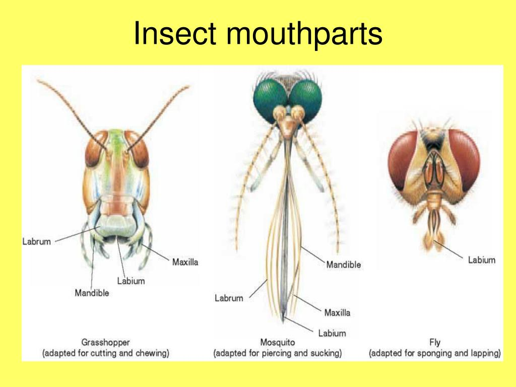 Ppt Chapter 36 Arthropods Amp Chapter 37 Insects