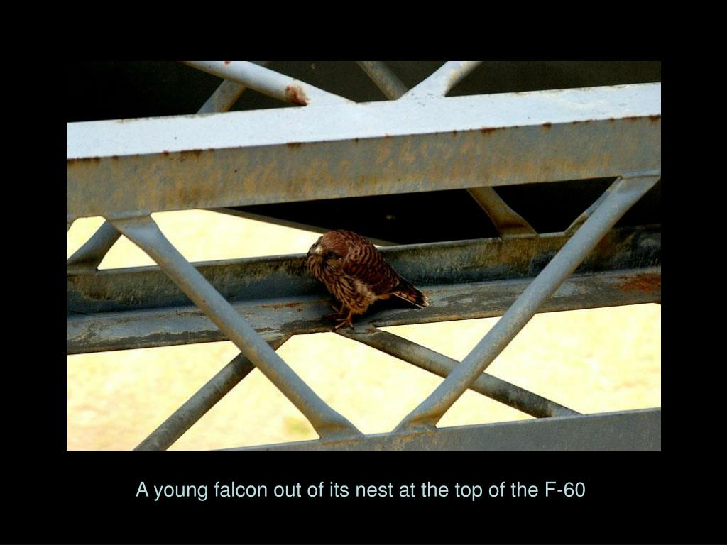 A young falcon out of its nest at the top of the F-60
