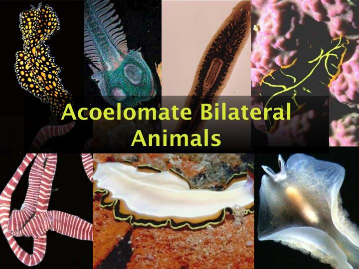 Acoelomate bilateral animals