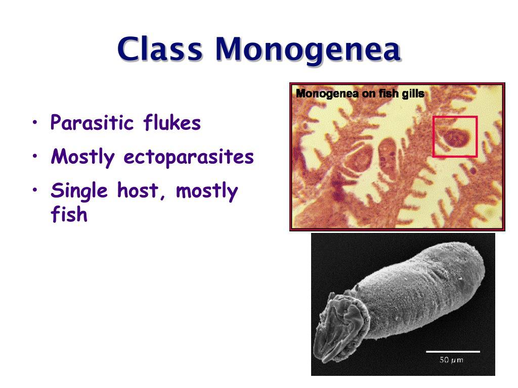 Class Monogenea