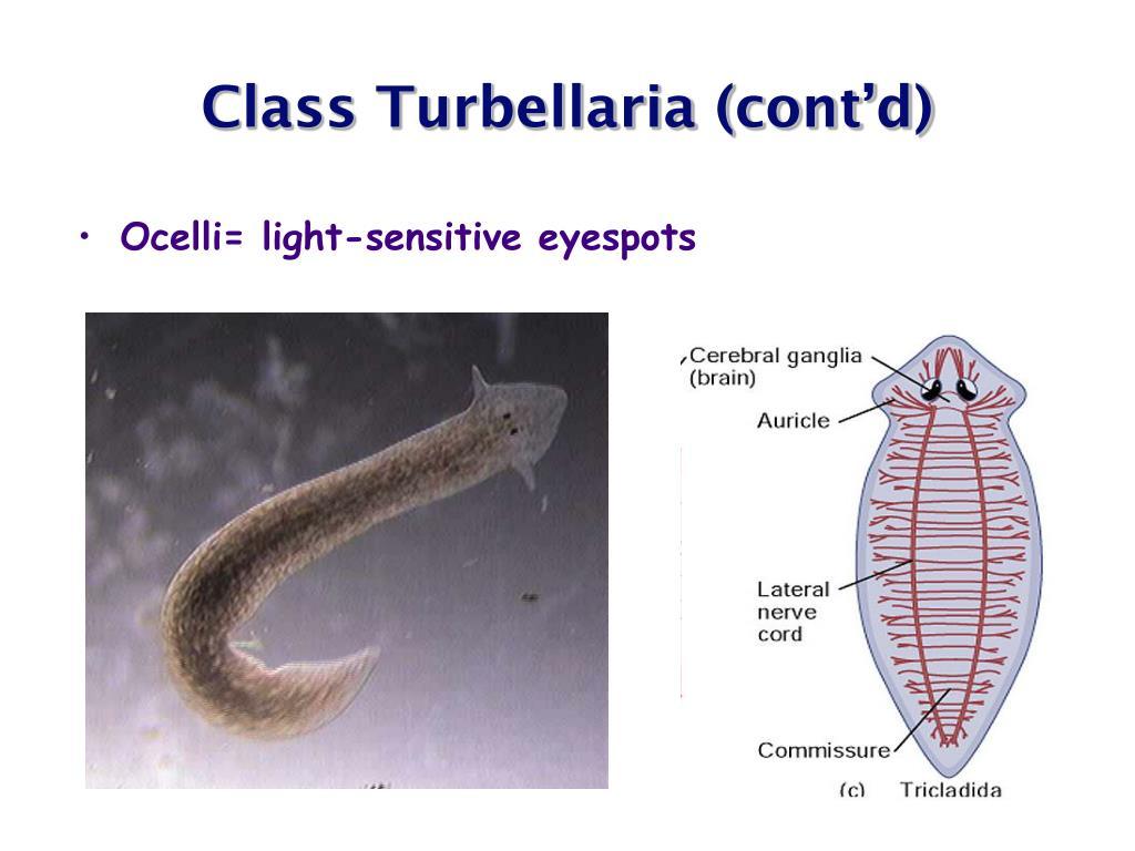 Class Turbellaria (cont'd)