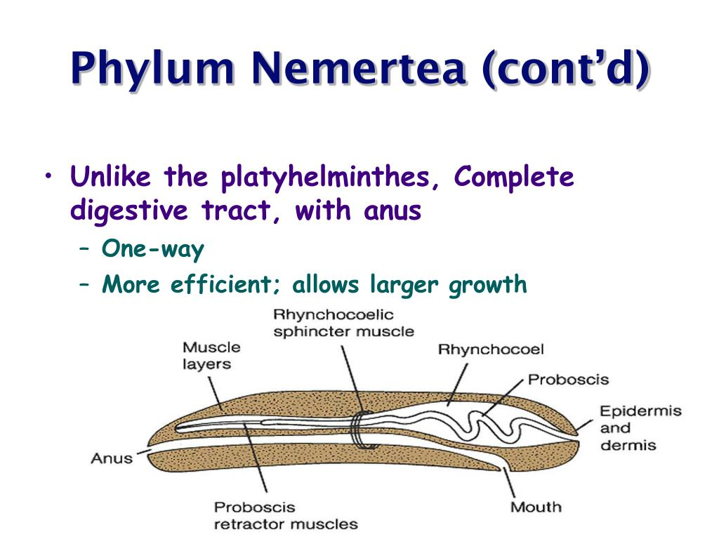 Phylum Nemertea (cont'd)