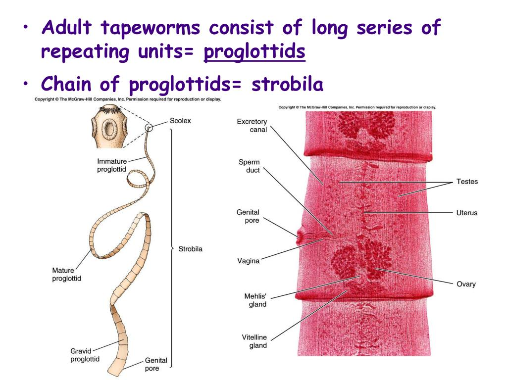 Adult tapeworms consist of long series of repeating units=